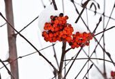Ashberry on a snowy treebranch — Stock Photo