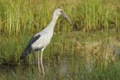 Asian Openbill stork — Stock Photo