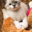 Adorable small kitten in wicker basket - Stock Photo