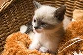 Adorable petit chaton dans le panier en osier — Photo