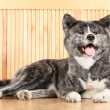 Stock Photo: AkitInu dog portrait