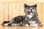 Akita Inu dog portrait — Stock Photo