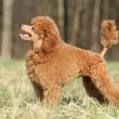 Toy poodle puppy on green grass - Stock Photo