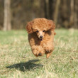 Toy poodle puppy running — Stock Photo