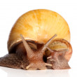 Snails crawling - Stock Photo
