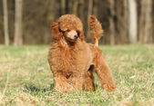 Toy poodle puppy portrait (outdoor) — Stock Photo