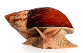 Big African snail Achatina fulica crawling — Stock Photo