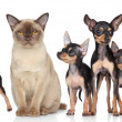 Stock Photo: Burma cat with group toy-terriers dogs