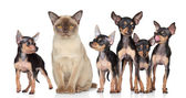 Burma cat with group toy-terriers dogs — Stock Photo