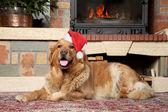 Złoty pies myśliwski w santa boże narodzenie wpr — Zdjęcie stockowe