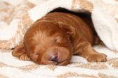 Poodle puppy (one week) sleeps in blanket — Stock Photo
