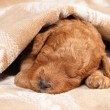 Poodle puppy (second week) sleep — Stock Photo