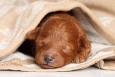 Poodle puppy (one week) warped in blanket — Stock Photo