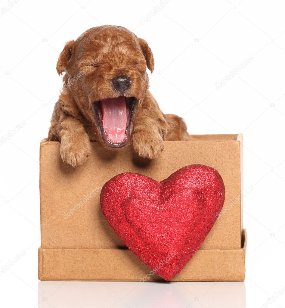 Red Poodle pup (second week) yawns in a box with a red heart on a white background — Stock Photo #8647719