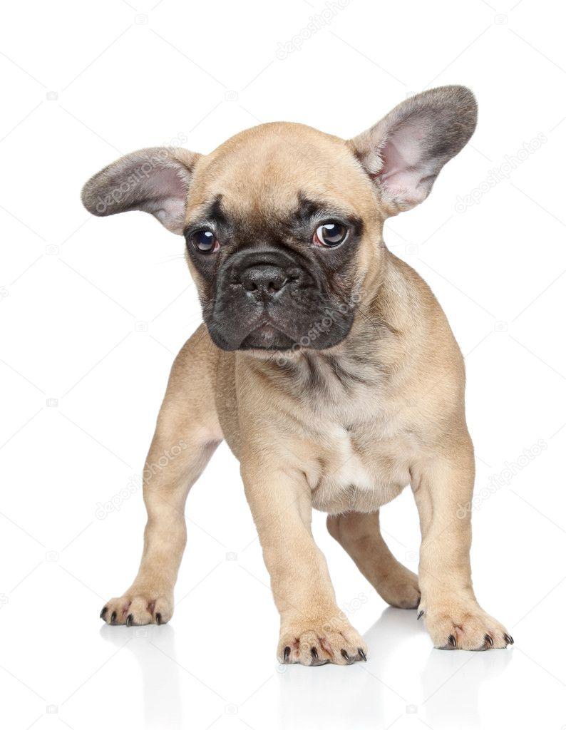 Cachorro de bulldog francés sobre un fondo blanco — Foto de stock ...