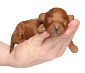 Little puppy (one week) in hand over white background — Stock Photo