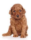 Miniature poodle puppy on white background — Stock Photo
