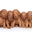Group of a Toy-poodle Puppy (20 days) on a white background — Stock Photo