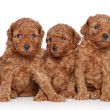 Toy-poodle puppies (30 days) on a white background — Stock Photo