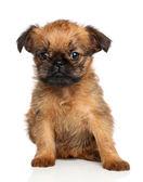 Gryfonik bruxellois szczeniak — Zdjęcie stockowe