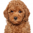 Poodle puppy close-up portrait — Stock Photo