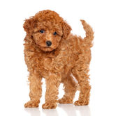 Poodle puppy on a white background — Stock Photo