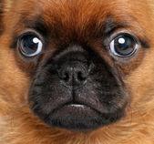 Griffon brussels. Close-up portrait — Stock Photo