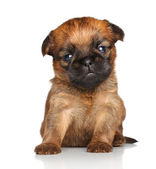 Griffon Bruxelles puppy on a white background — Stock Photo