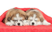 Japanese Akita inu puppies sleeping — Stock Photo