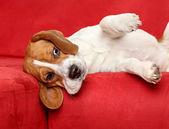 Beagle lies on red sofa — Stock Photo