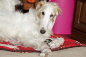 Greyhound, Russian borzoi resting — Stock Photo