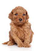 Toy Poodle Puppy — Stock Photo