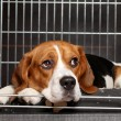 Beagle Dog in cage - Stock Photo