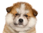 Japanese Akita-inu puppy — Stock Photo