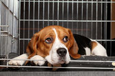 Beagle Dog in cage — Stock Photo