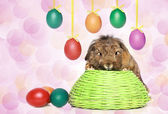 Lop-eared rabbit with Easter eggs — Stock Photo