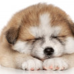 sommeil de chiot Akita inu — Photo