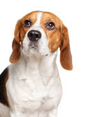Beagle dog on white background — Stock Photo