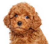 Cucciolo di barboncino giocattolo su sfondo bianco — Foto Stock
