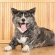 Akita Inu dog portrait — Stock Photo