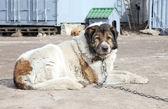 Aged Caucasian Shepherd watchdog — Stock Photo
