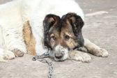 Old, watchdog. Outdoor shoot — Stock Photo