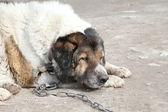Old, sad watchdog. Outdoor shoot — Stock Photo