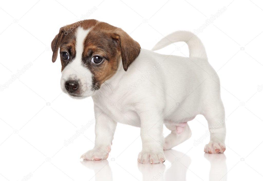 What Does a Jack Russell Terrier Look Like