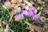 Crocus in the forest — Stock Photo