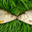 Two fish on green grass - Stock Photo
