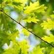 Fresh maple leaves - Stock Photo