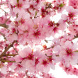 Spring apple blossoms — Stock Photo #8329836