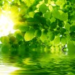 Green leaves reflecting in the water — Stock Photo #8329856