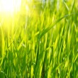 Green grass sunset — Stock Photo